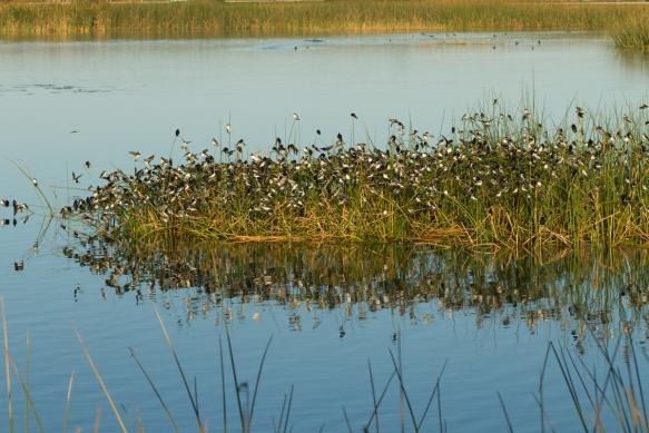 Tree Swallows on island