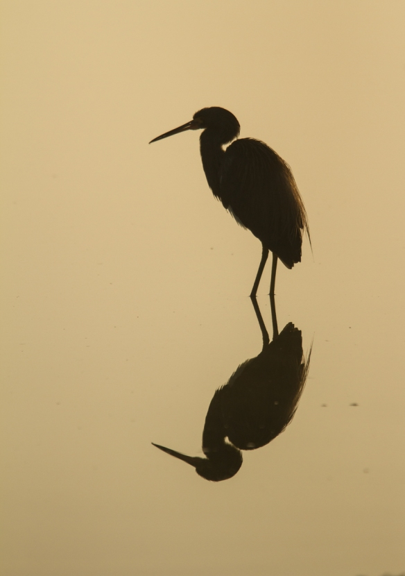 Tri-colored Heron in fog