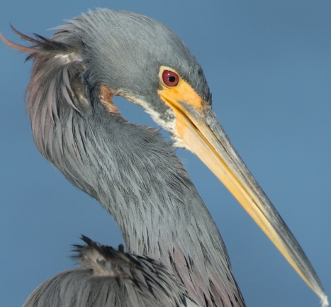Tricolored Heron head close up