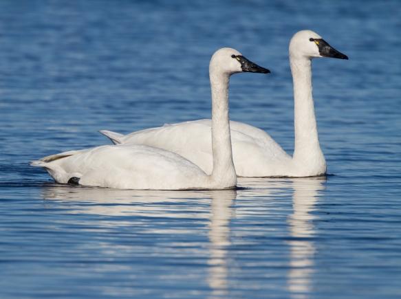 Tundra Swan pair 1