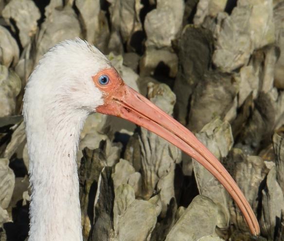 White Ibis eye 1