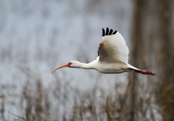 White Ibis fly-by 1