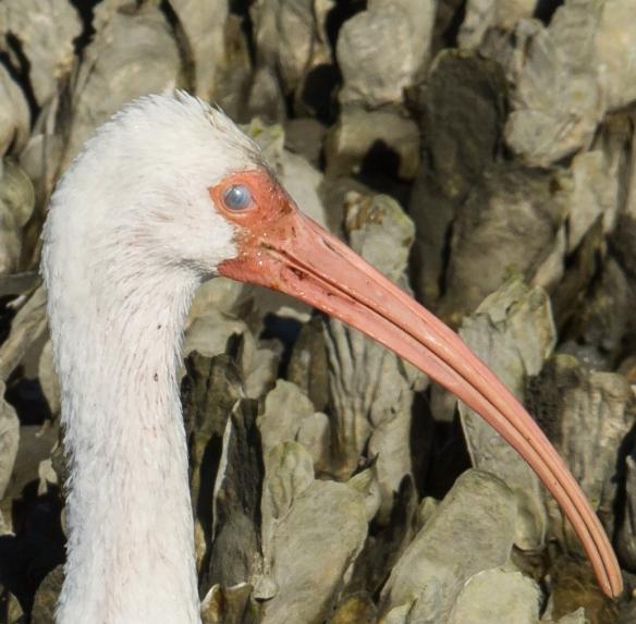 White Ibis nicitating membrane