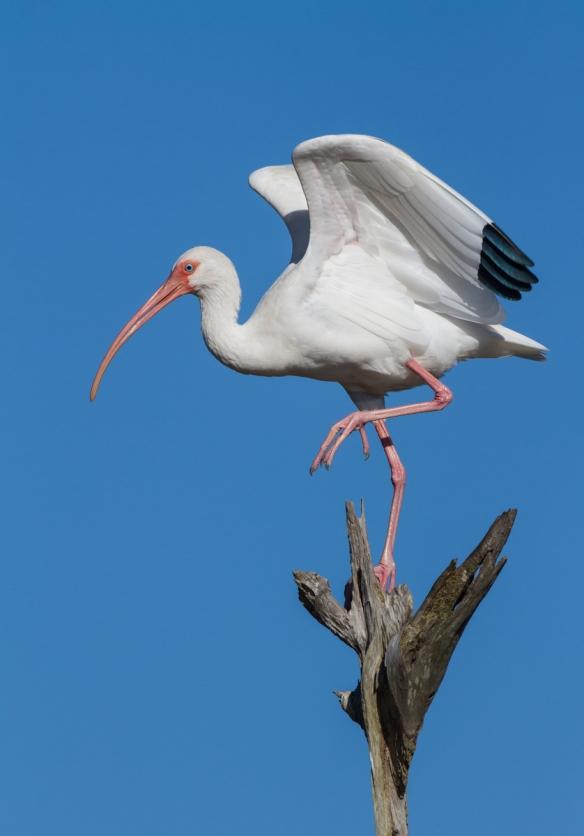 White Ibis on palm trunk