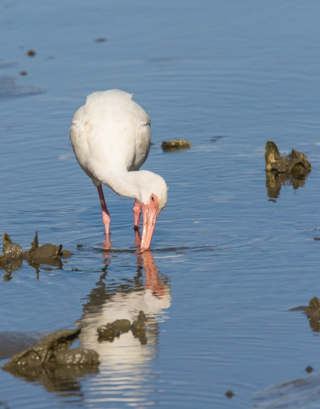 White Ibis probing