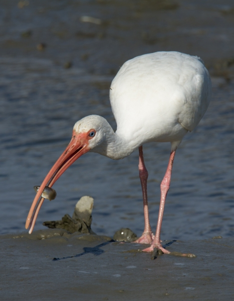 White Ibis with small fish