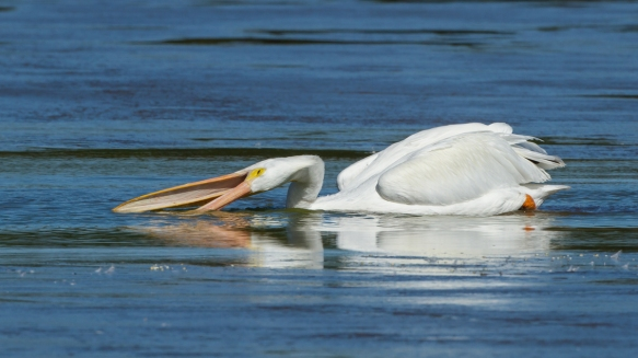 white pelican feeding 1