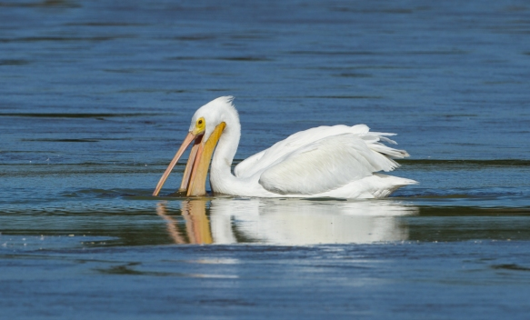 white pelican feeding