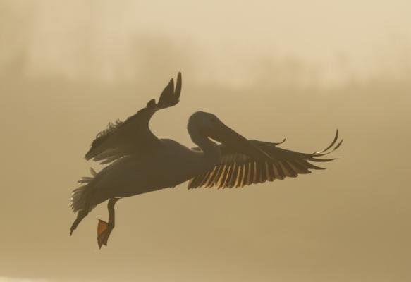 White Pelican landing in fog 1