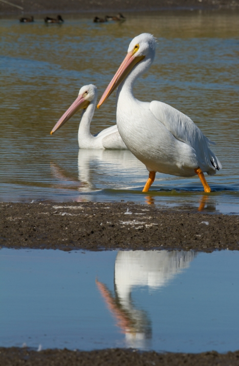 white pelican pair one walking