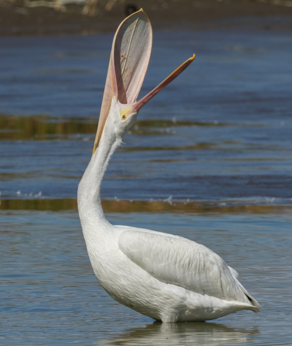 white pelican pouch stretch vertical