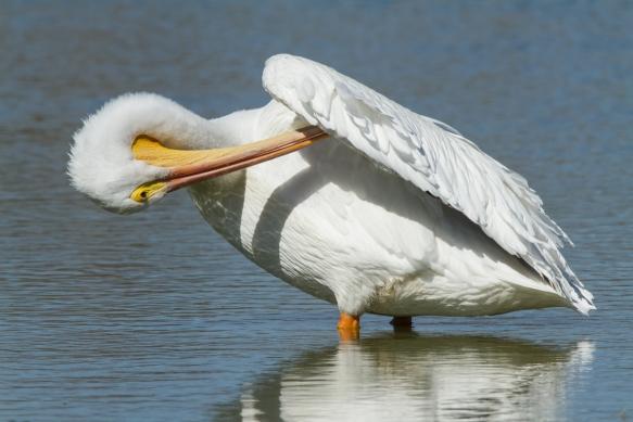 white pelican preening