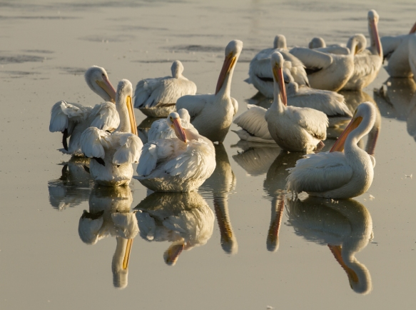 White Pelicans as fog lifts
