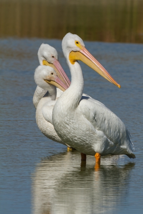 white pelicans three