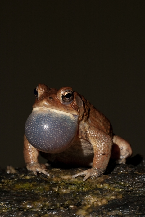 American Toad calling