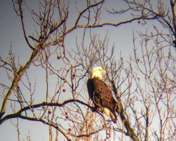 Bald Eagle digiscoped