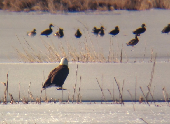 Bald Eagle on ice 1
