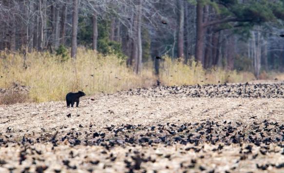 Bear and Blackbirds