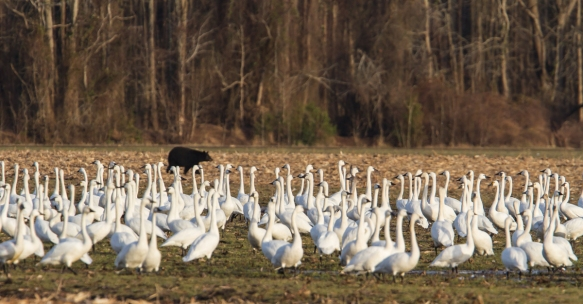 Bear and swans