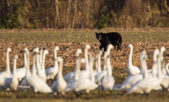 Bear with food and swans