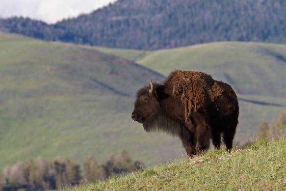Bison with background