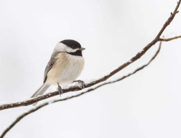 Carolina Chickadee in snow