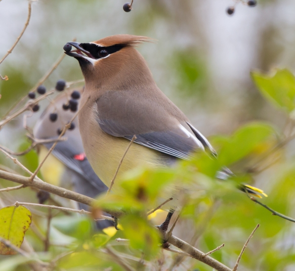 Cedar Waxwing eating privet berry vertical 1