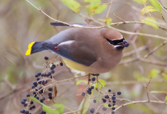 Cedar Waxwing eating privet berry