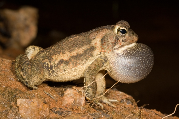 Fowler's Toad calling