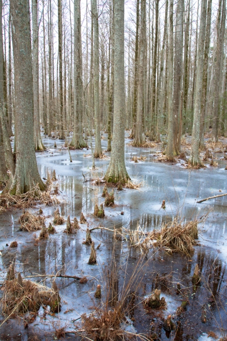 Frozen swamp