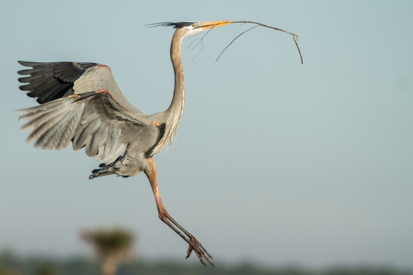 GBH flying into nest with sticks