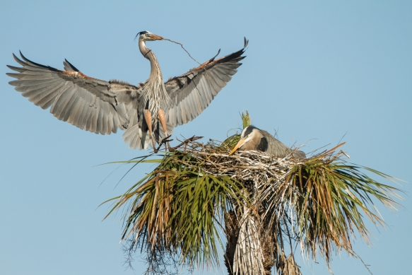 Great Blue Heron arriving at nest with sticks 1