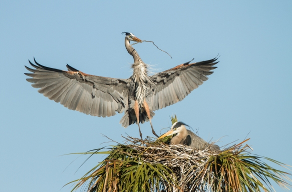 Great Blue Heron arriving at nest with sticks 3