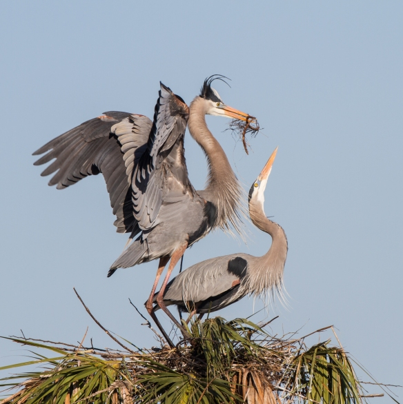 Great Blue Heron arriving at nest with sticks 4