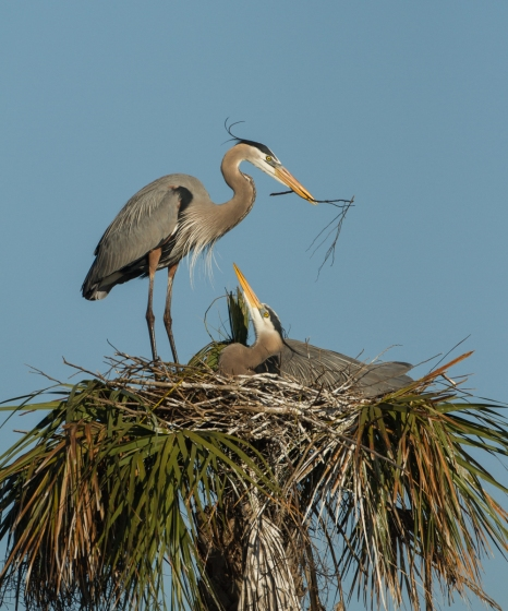 Great Blue Heron arriving at nest with sticks 5