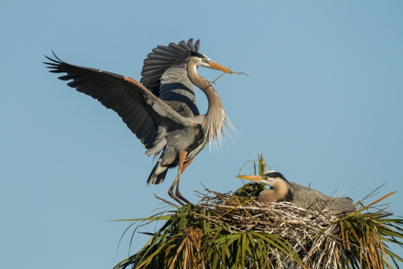 Great Blue Heron arriving at nest with sticks