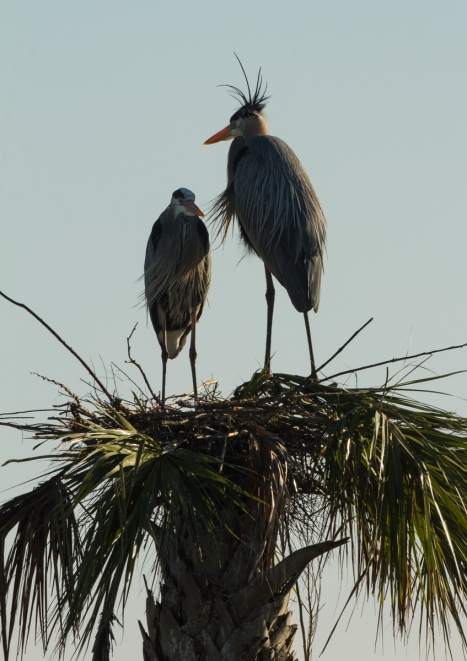 Great Blue Heron pair at nest silhouette