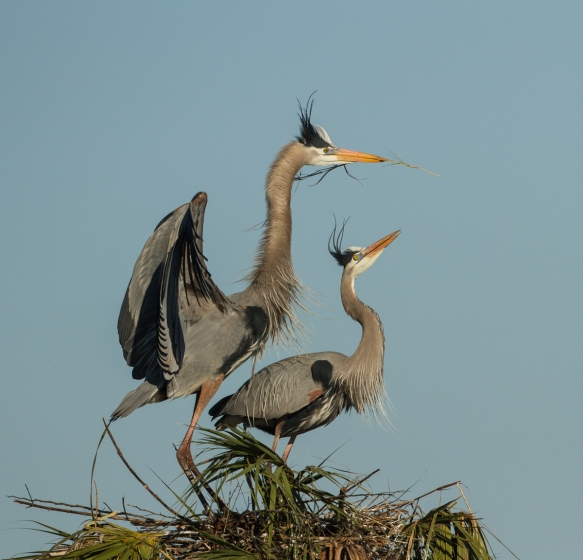 Great Blue Heron pair with stick at nest 1