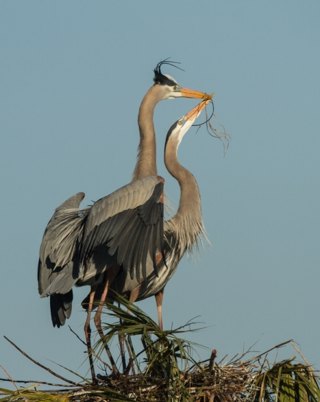 Great Blue Heron pair with stick at nest