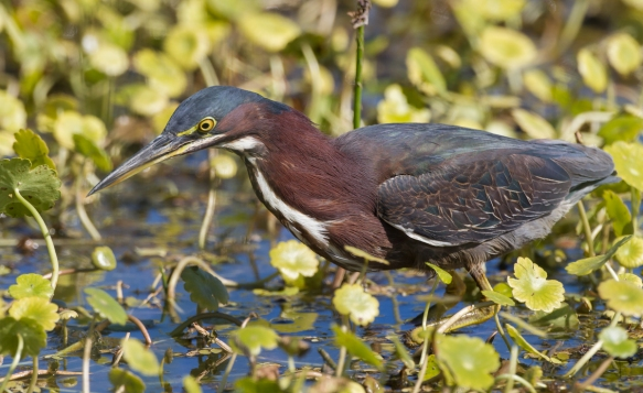 Green Heron in pennywort bed