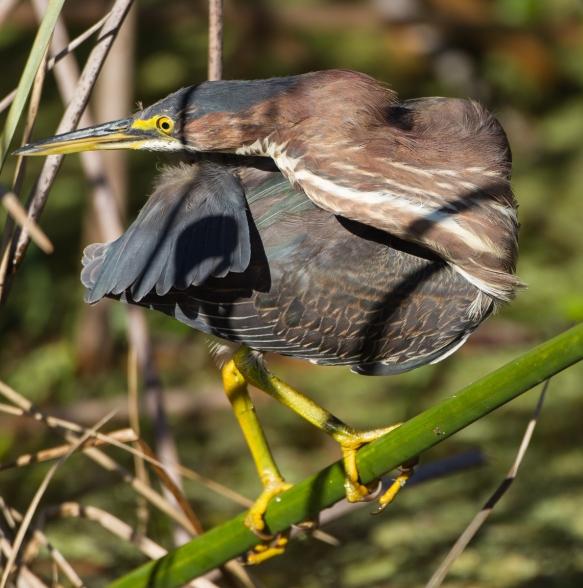 Green Heron preening