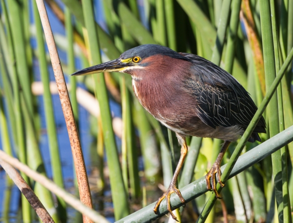 Green Heron profile