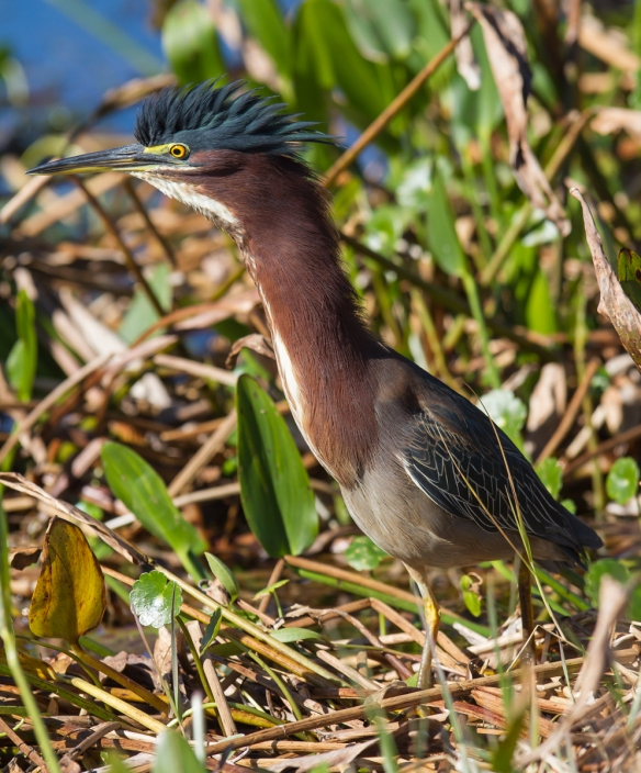 Green Heron raised crest 1