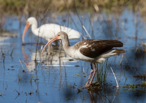 Immature and adult White Ibis
