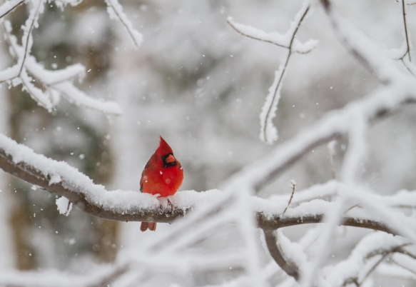 Male Cardinal in snow 3