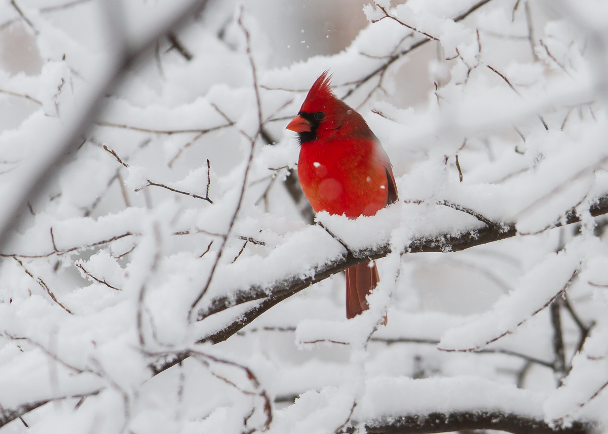 Male cardinal in snow 4 - Pictures of cardinals in snow ...