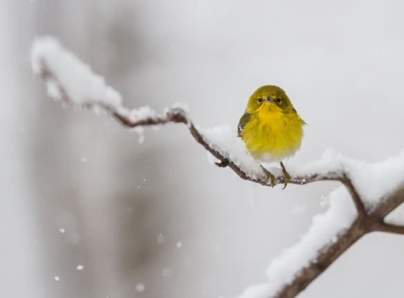 Pine warbler in snow 2