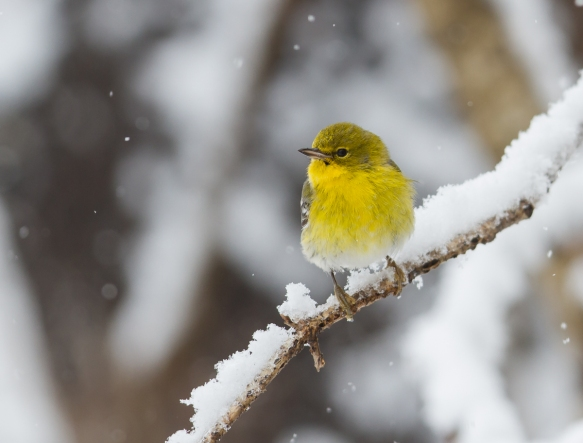 Pine warbler in snow 3