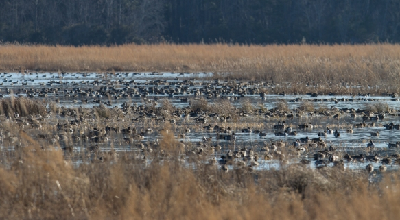 Pintails in impoundment
