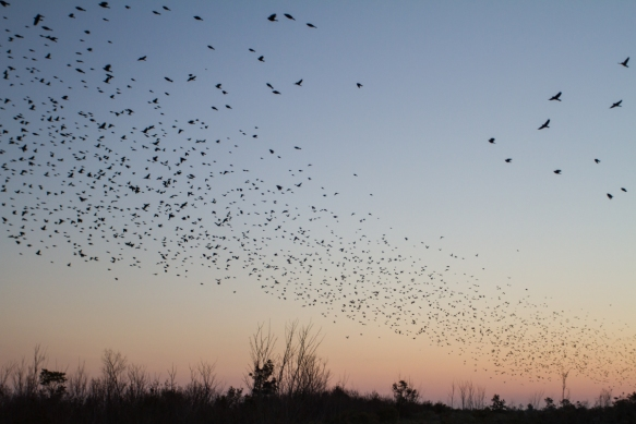 Red-winged Blackbirds at dawn at platform